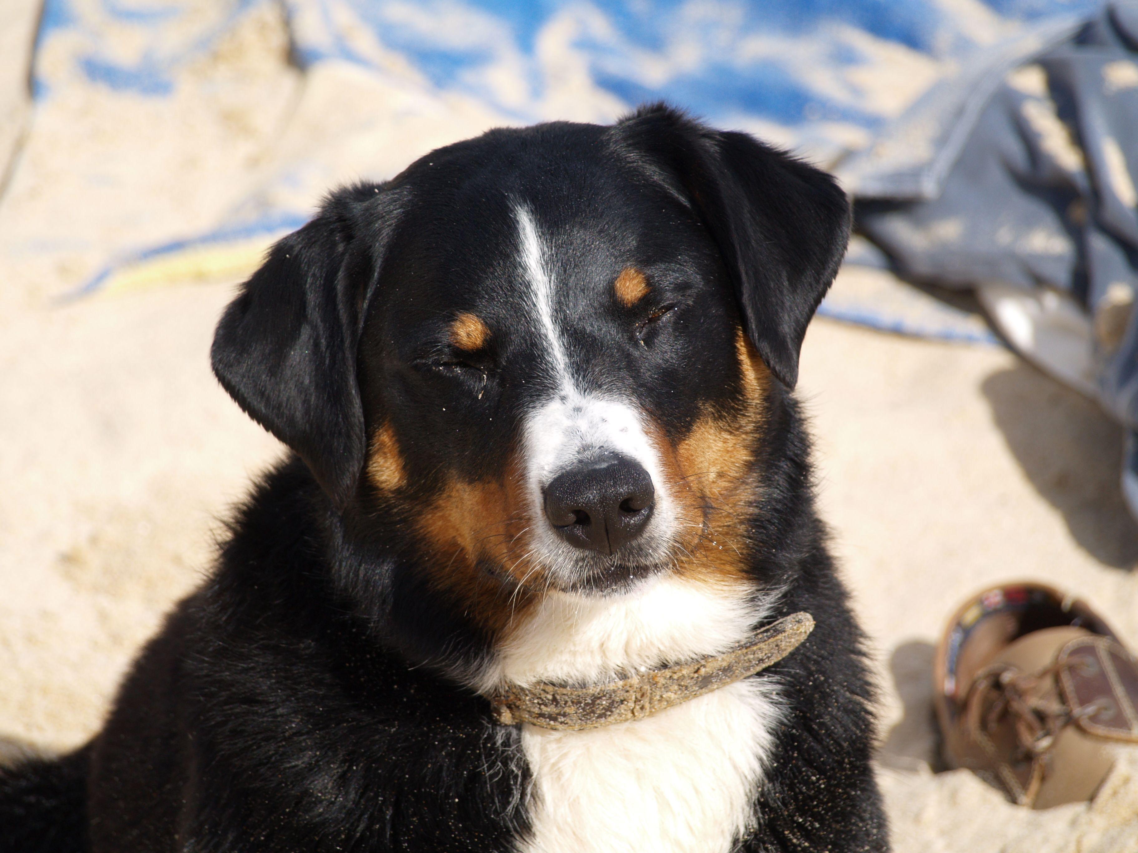 Max L Ein Appenzeller Sennenhund Bouvier Appenzellois Swiss