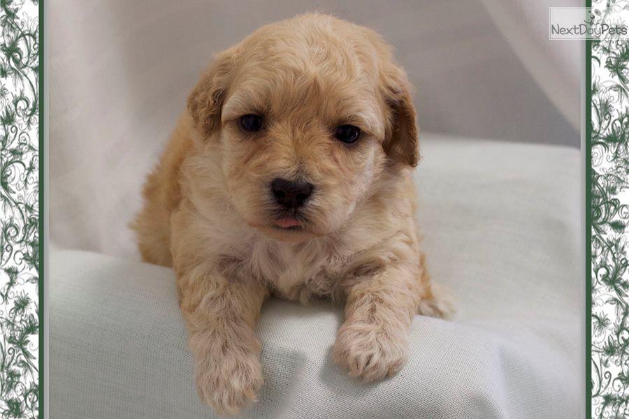 Aria Yorkiepoo Yorkie Poo Puppy For Sale Near Little Rock