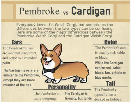 Pembroke Vs Cardigan Corgi Pembroke Cardigan Corgi