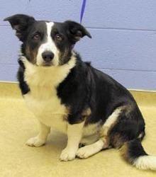 Adopt Virginia On Petfinder Border Collie Corgi Mix Welsh Corgi Mix Border Collie Dog