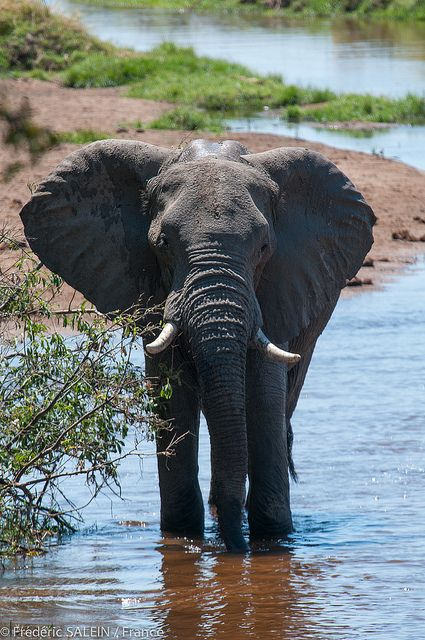 Ruaha Tanzania Elephant Animals Wild Elephant Love