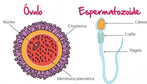 Pin En Sistema Reproductor Femenino Y Masculino Ciclo Menstrual