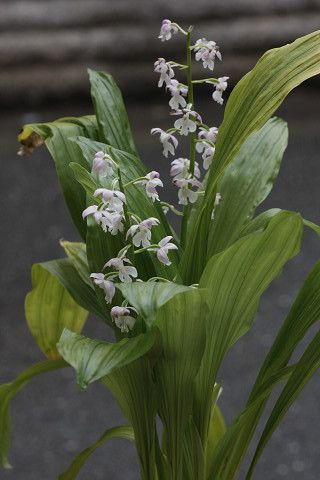 É a orquídea, e outra orquídea Calanthe. - Flores roxas pálidas e um sino e clematis