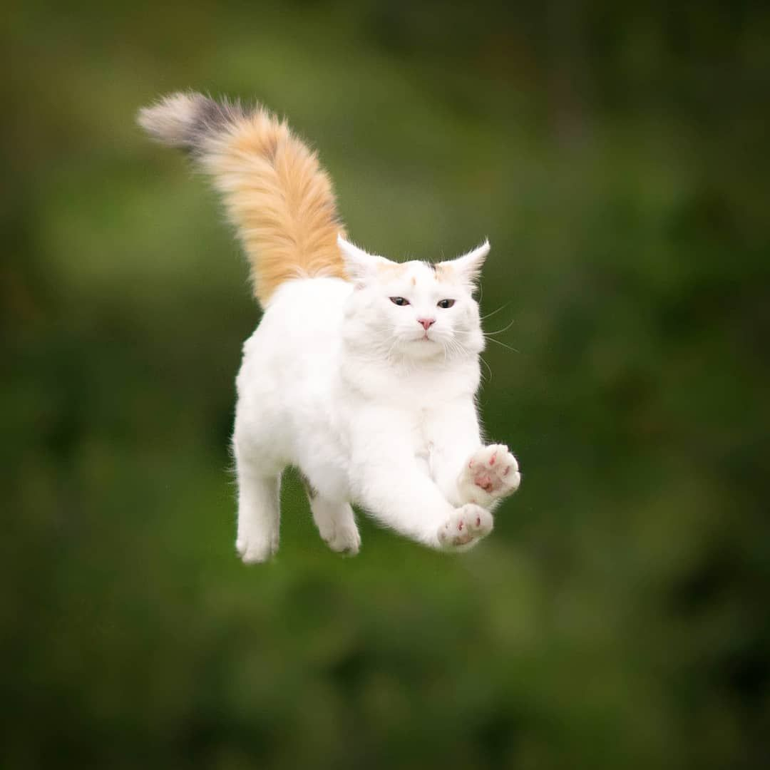 Airplane Ears Mode On Cat Cats Fly 9gagnoticeme Weeklyfluff Catsofinstagram Cats Jumping Cat Gorgeous Cats