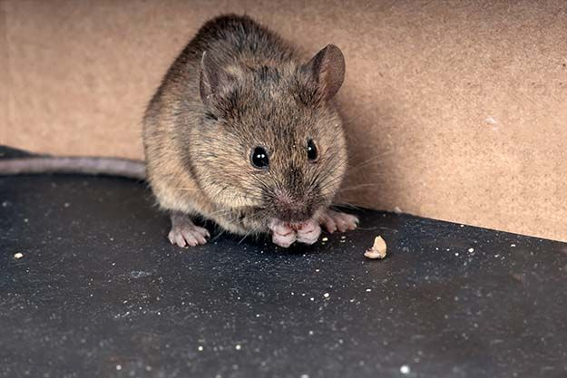 How To Repel Pests Using Essential Oils Pest Control Keep Mice Away Getting Rid Of Mice