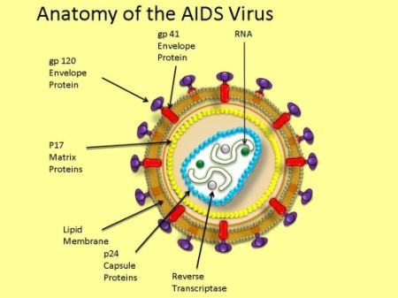 Pin on HIV StructureHiv Virus Diagram Labeled