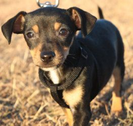 Adopt Reena On Chihuahua All About Animals Animals