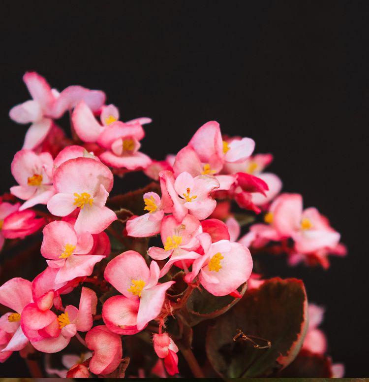 Begonia Flat Begonia Garden Inspiration Plants