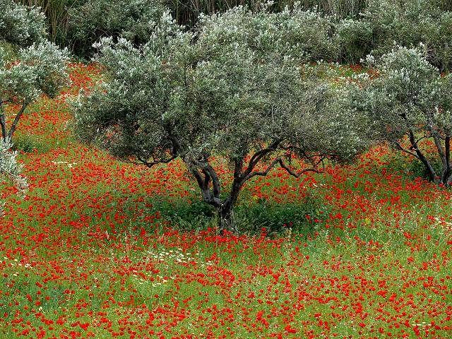 Olive Trees  Naxos Greece