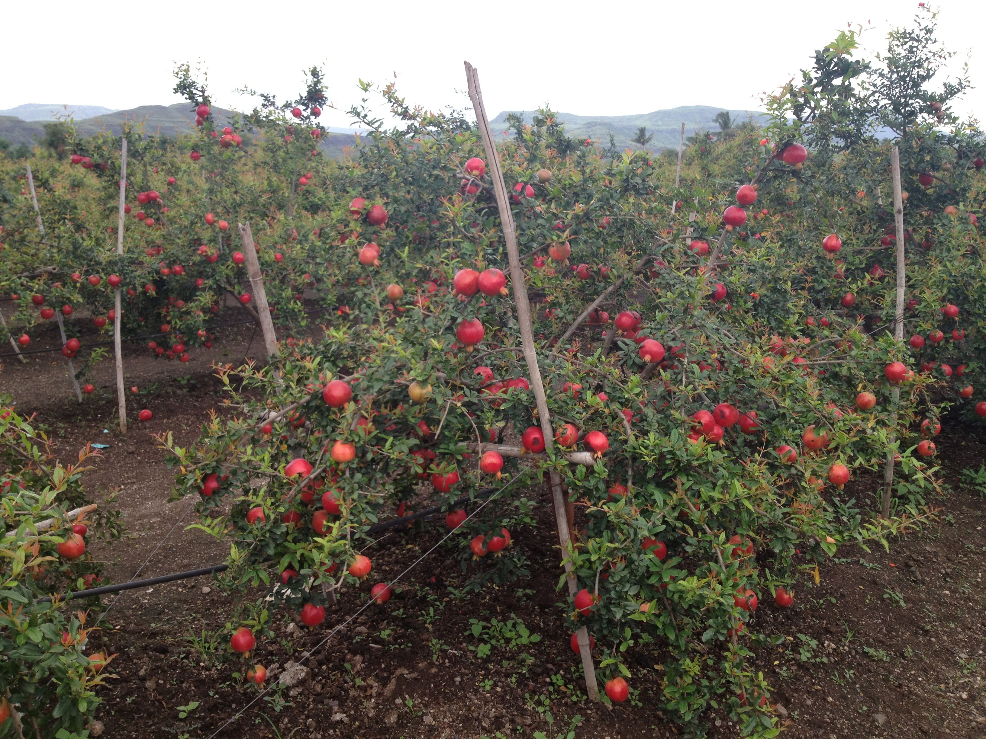 This is our pomegranate farm in Nashik, near Maharashtra ...