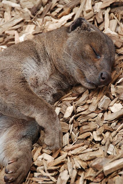 Sleepy fossa!