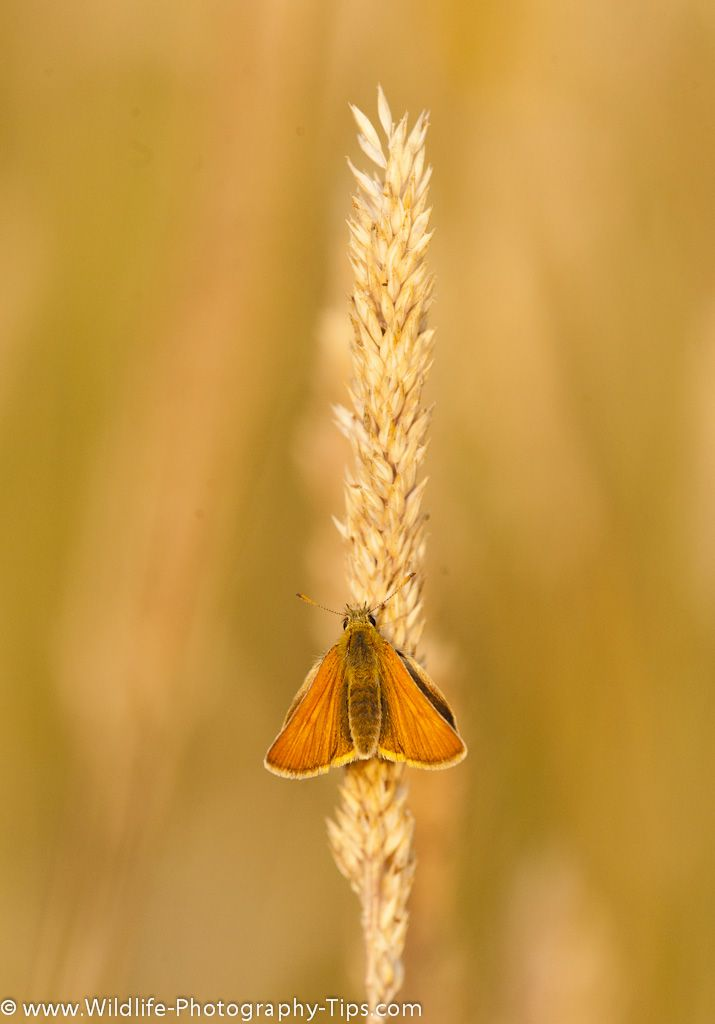 In spring the play meadow at RSPB Middleton Lakes is home to many small skippers. They are very small butterflies so a macro lens is most useful. This one was on an isolated grass stem giving a nice clear background. For more photographs taken at Middleton Lakes visit http://www.wildlife-photography-tips.com/rspb-middleton-lakes-butterflies.html