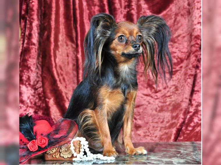 Pin By Personal On Russian Toy Terrier Dogs And Puppies In 2020