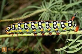 Bildergebnis Fur Exotische Raupen Insekten Raupe Libellen
