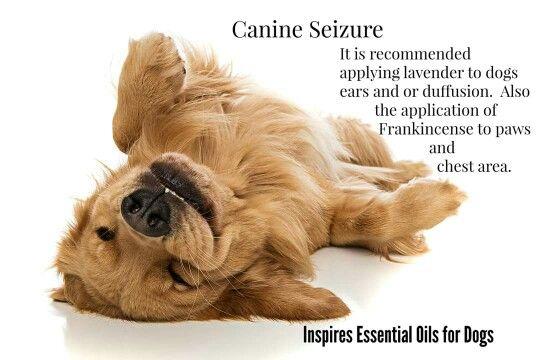 Canine Seizure Retriever Puppy Puppies Golden Retriever