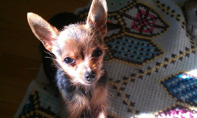 Adopt Sailor On Puppy Mills Chihuahua Mix Yorkie