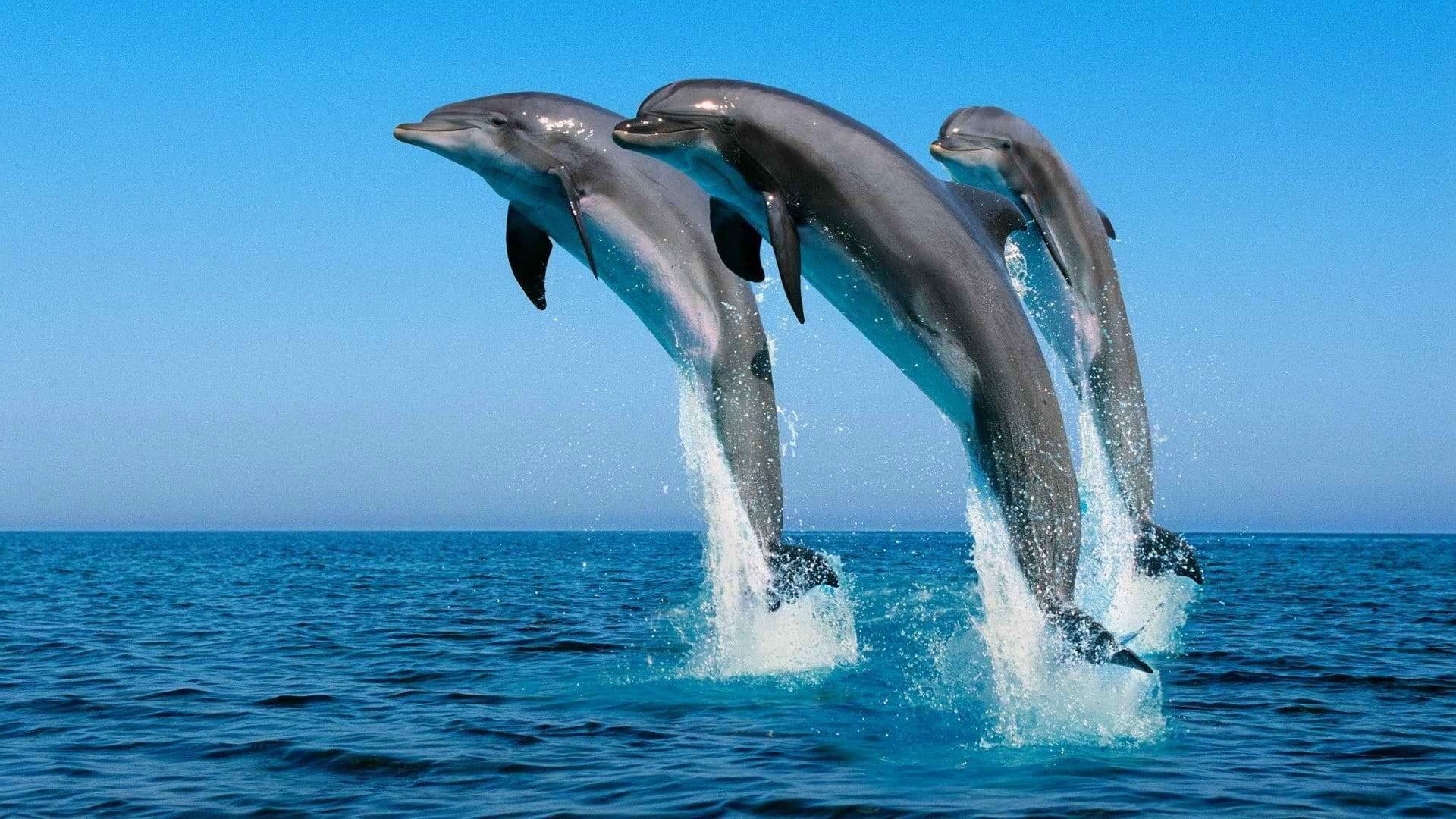 Animals Dolphin Jumping Sea Splashes P