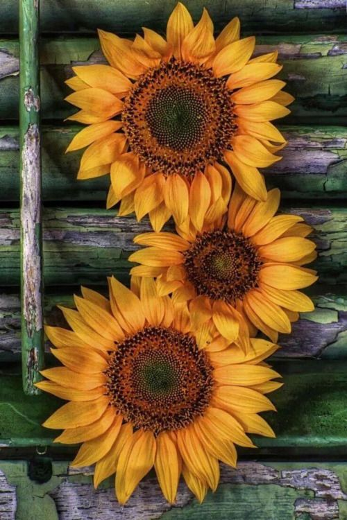 Photo Sunflowers On Aged Wood Background Card Inspiration
