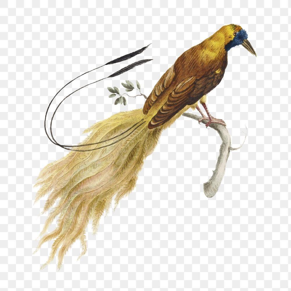 Download Premium Png Of Bird Of Paradise On A Tree Branch Vintage Birds Of Paradise Bird Bird Illustration