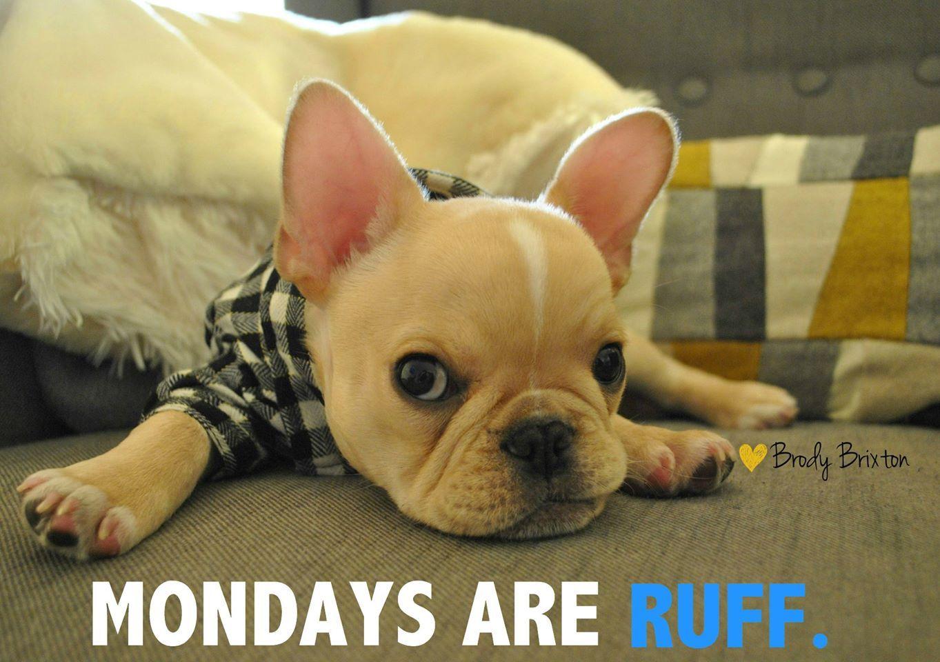 Mondays Are Ruff Cute French Bulldog French Bulldog French