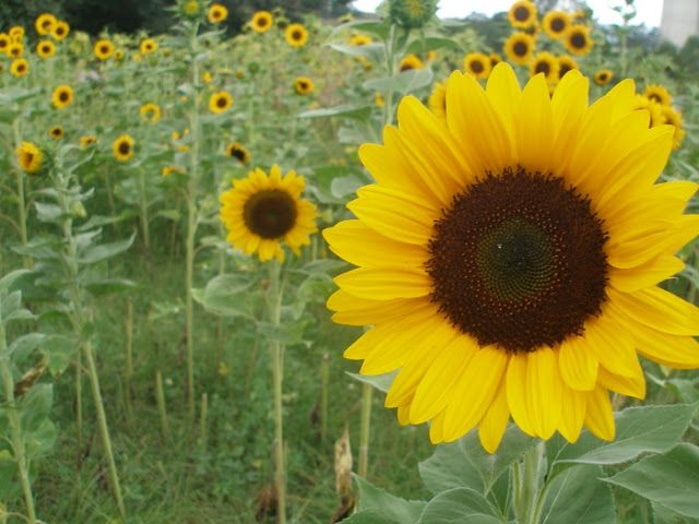 Thy Hand Hath Provided: How to Plant & Grow Cut Sunflowers to Sell Designing A Garden Market Html on design your garden, japanese zen garden, designing an office, flower garden,