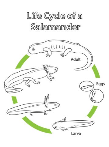 Life Cycle of a Salamander Coloring page Animals Life