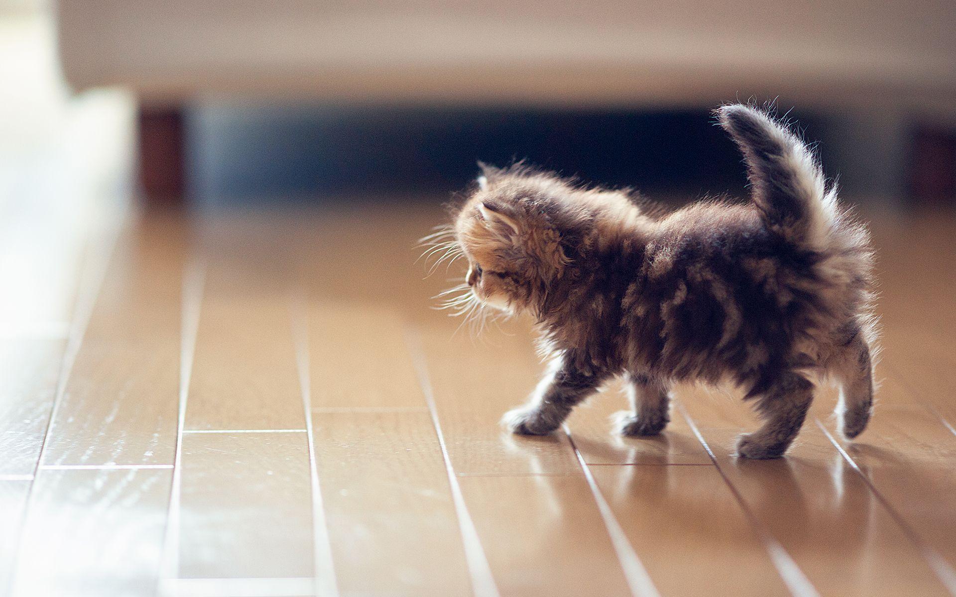 Fluffy Kitten Wallpaper Phone