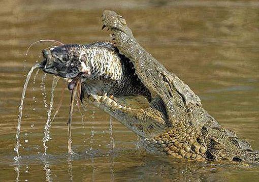 Nile Crocodile - Content to Smile as a Top Predator   Nile ...