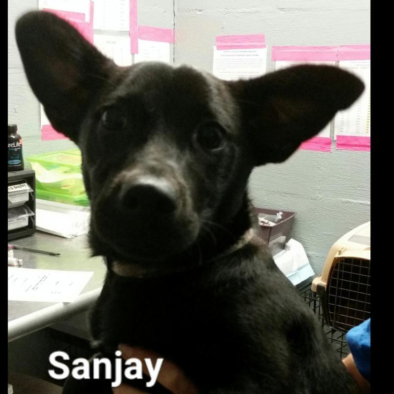 Adopt Sanjay On Adoption Dogs Corgi Mix