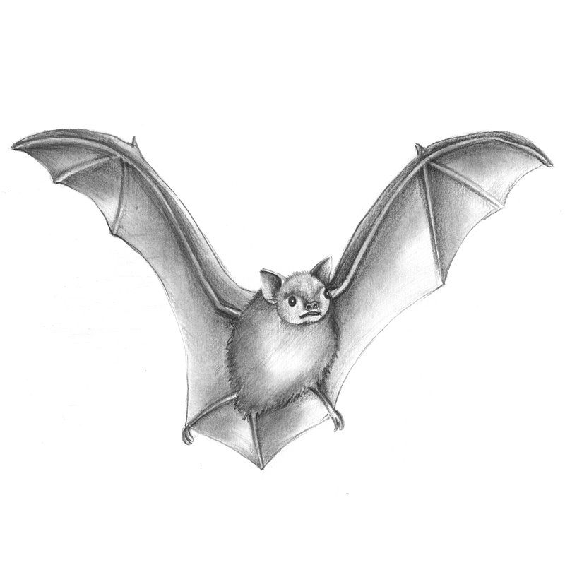 pencil sketch of big brown bat pencil drawing pencil drawings of