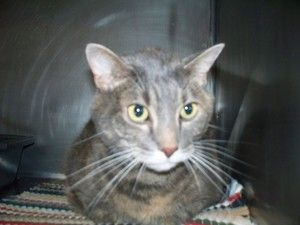Izabeth is an adoptable Domestic Short Hair - Gray And White Cat in Shelbyville, IN. Thank you for supporting the Shelbyville/Shelby County Animal Shelter and Petfinder.com!  Izabeth is a stray that s...