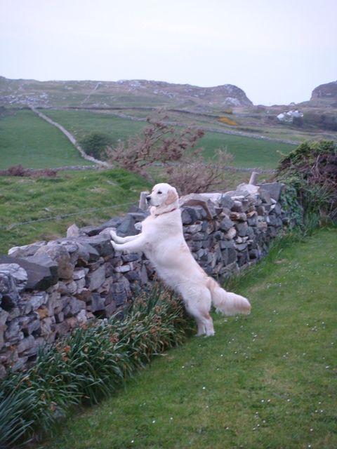 Beautiful Golden Retriever In Ireland Animals God S