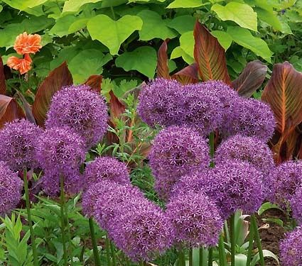 Allium Globemaster White Flower Farm Flower Garden Allium Flowers