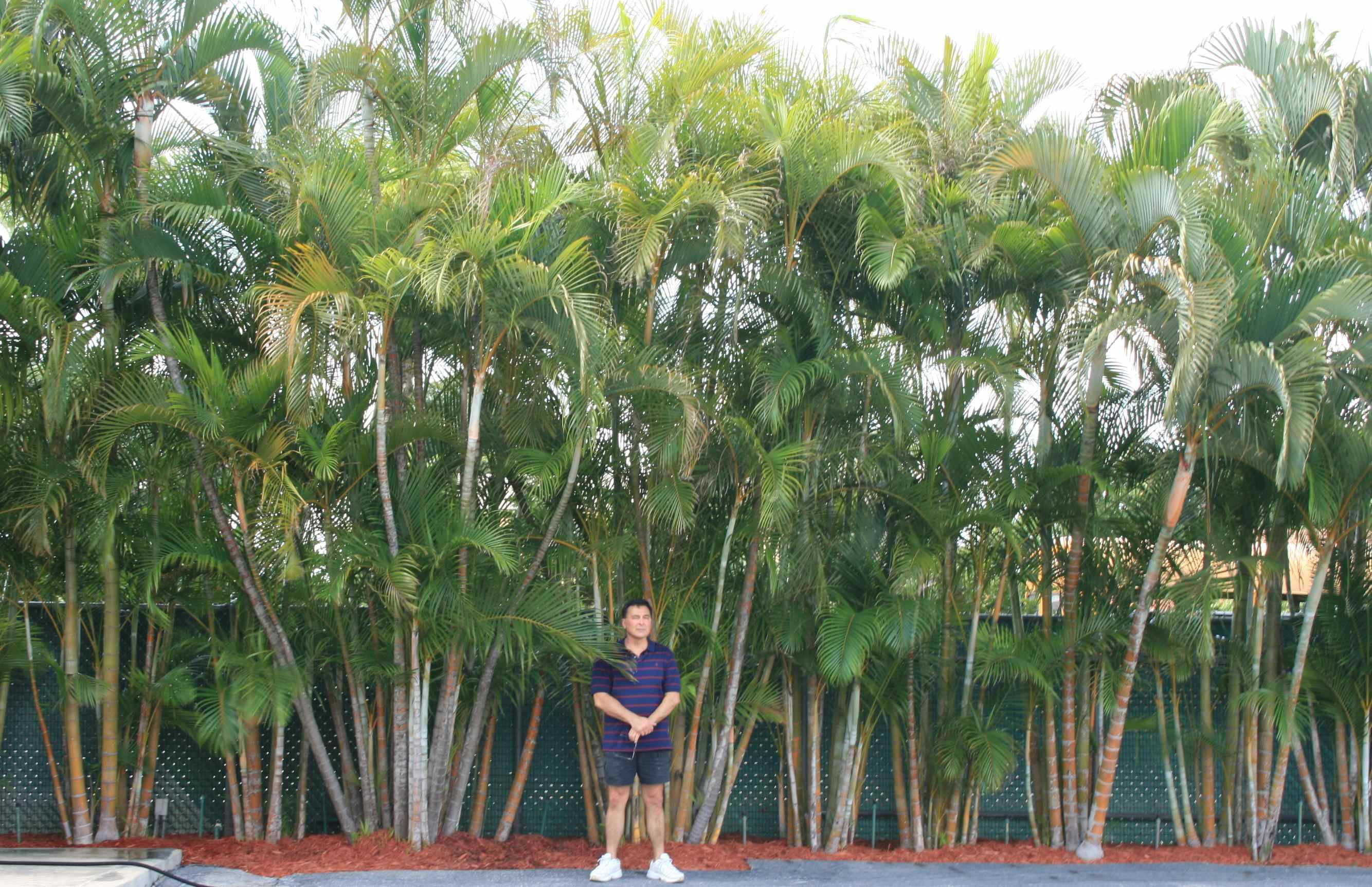 Privacy Palm Areca Palms Palm trees landscaping