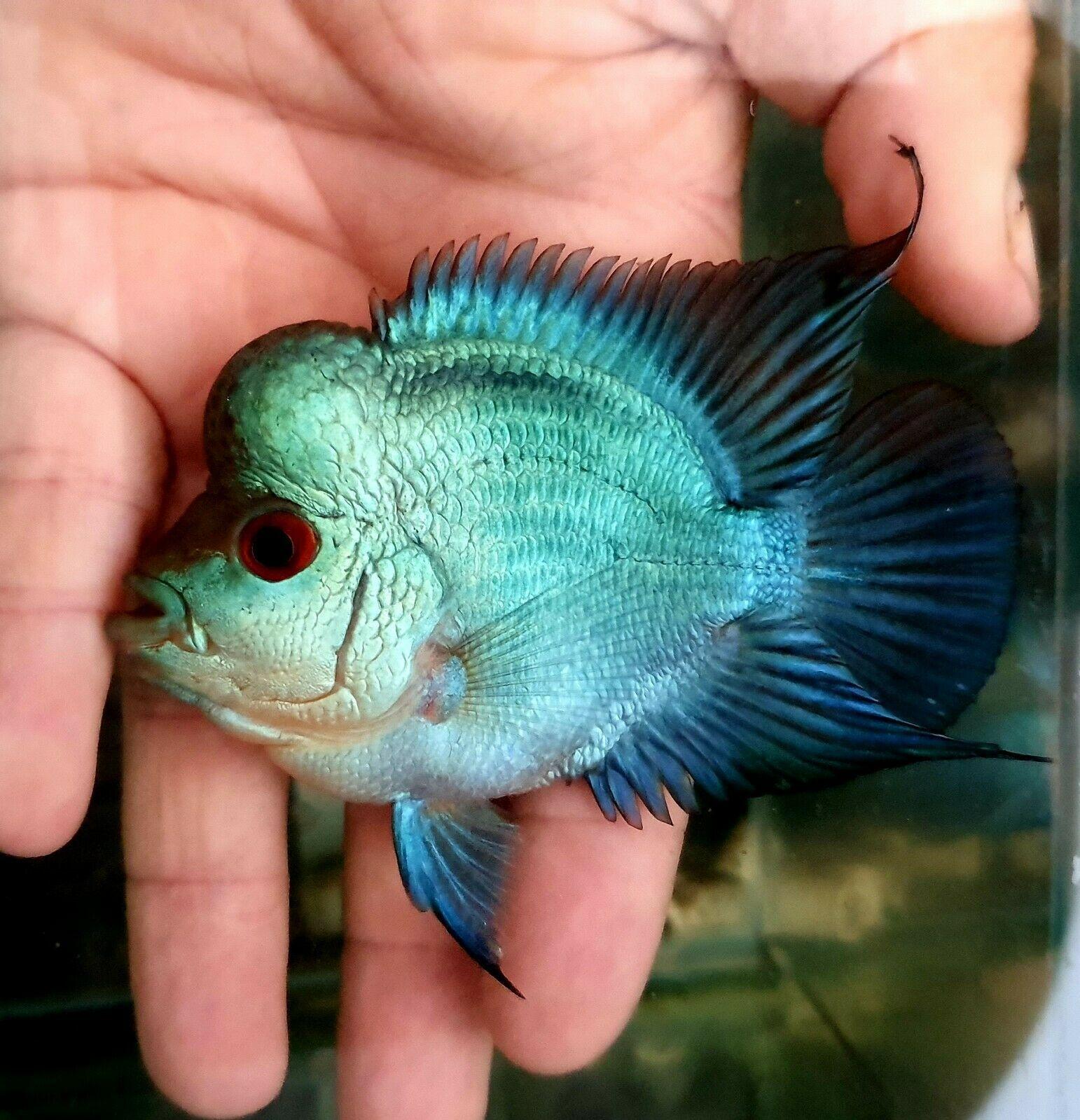 Flowerhorn Thai Silk Bonsai 3 Inch Top Grade Betta Fish Types Fish Cute Fish