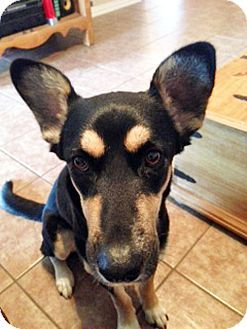 Micah Is A 2 Year Old Australian Kelpie Mix She Is Fully Housebroken And Super Soft Contact Rockwall Pets To Meet Her Pets Kitten Adoption Animals