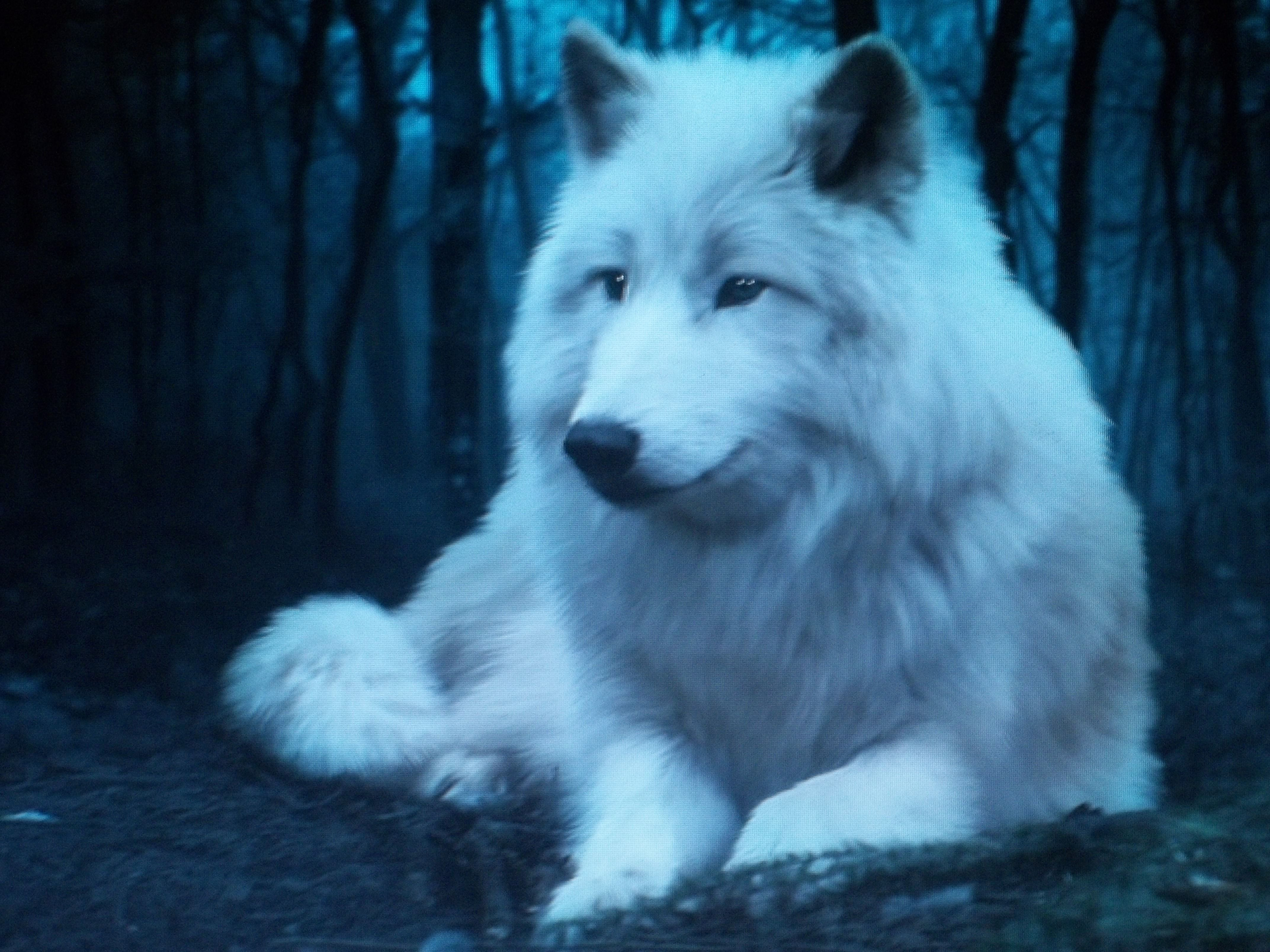 White Wolves Pack Download Hd Wallpapers