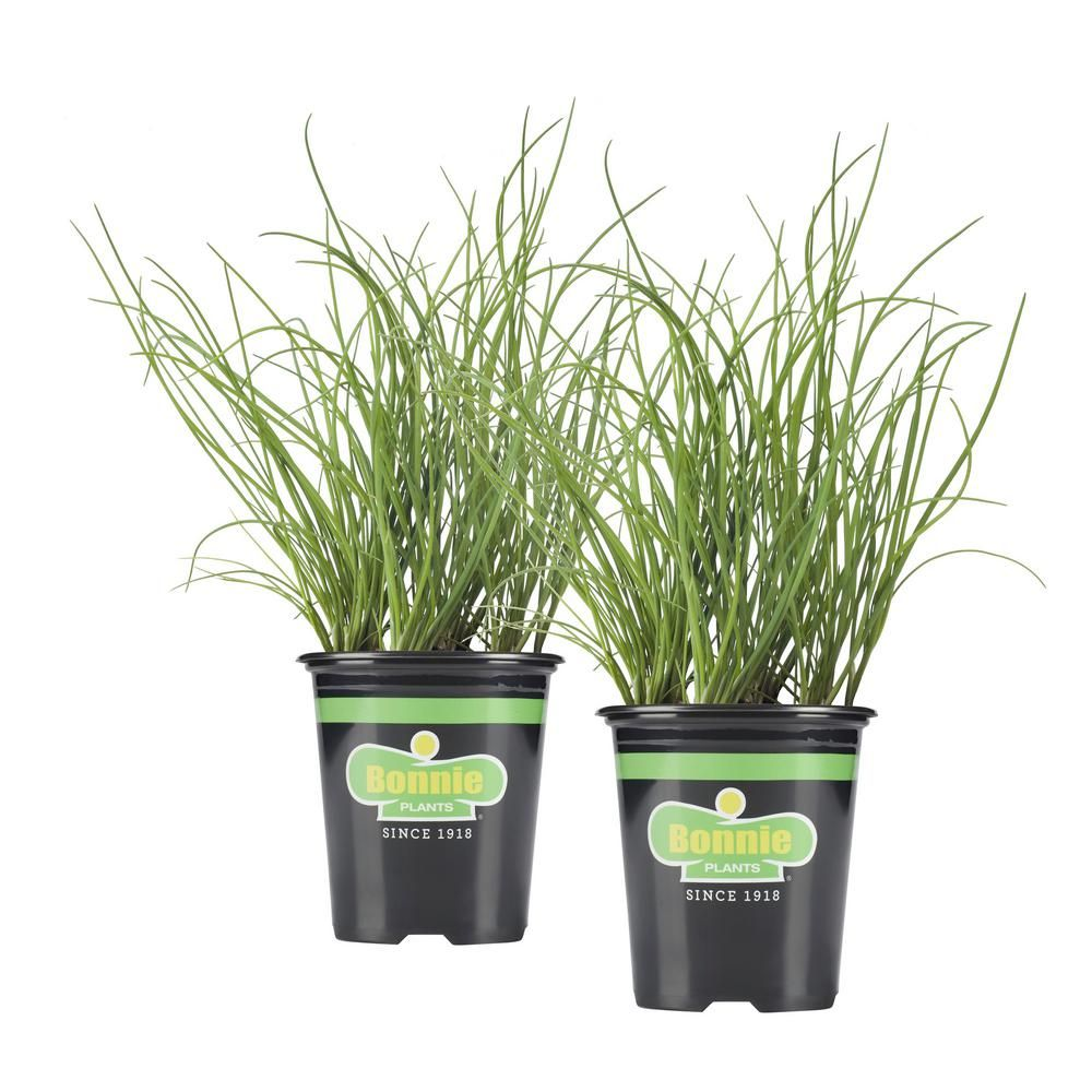 Bonnie Plants 19 3 Oz Onion Chives 2 Pack Live Plants Plants