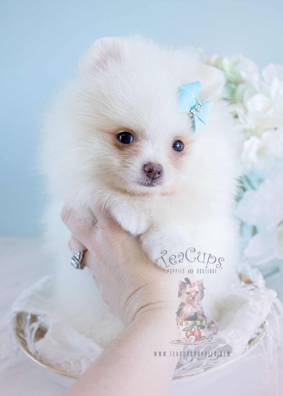 For Sale At Teacups Puppies White And Cream Pomeranian Puppies