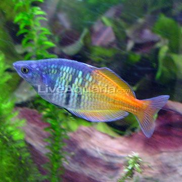 The Boesemani Rainbow creates a colorful centerpiece for any freshwater home aquarium. Males have a beautiful bluish purple head that fades into a gorgeous orange and yellow posterior. Though females are not as colorful, their brilliant silver coloration is equally as stunning against any backdrop of plants or rockwork. Regardless of sex, however, Melanotaenia boesemani boasts the same distinct characteristics as other Rainbowfish, including large eyes, a deeply forked mouth, and dual dorsal…