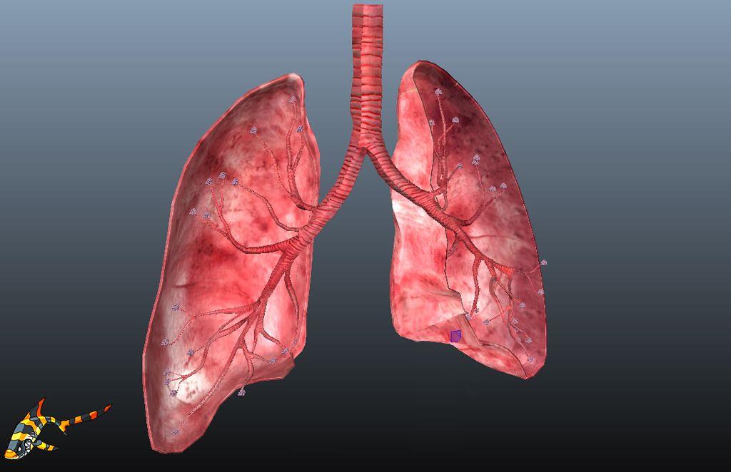 ed5aad7781b Animated Human Lungs 3D Model