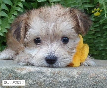 Suzie Q Morkie Puppy For Sale In Frederick Md Morkie Puppy