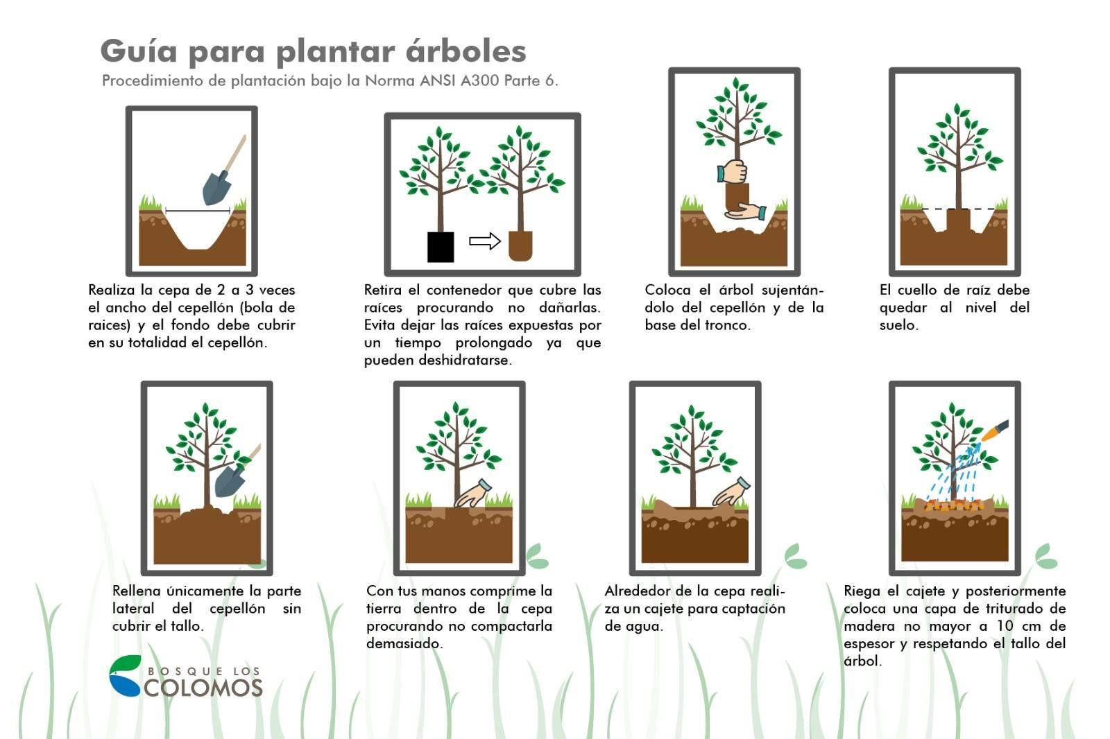 Conoce los pasos para plantar un rbol bajo la norma ansi for Pasos para sembrar una planta