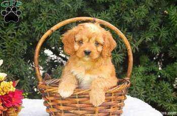 Meet Rolly A Lovable And Oh So Sweet Cavapoo Puppy This