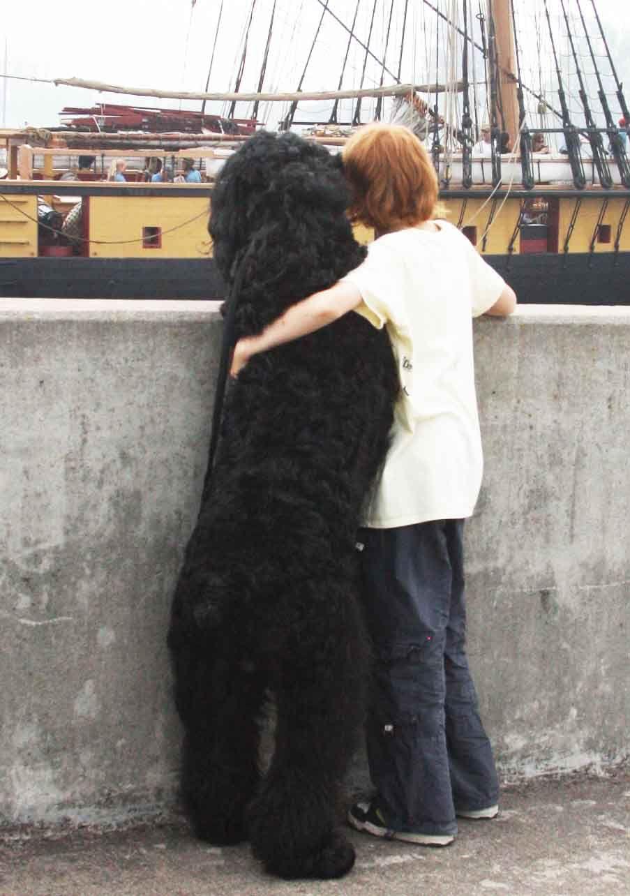 Black Russian Terriers | Things I Like | Pinterest | Black ...