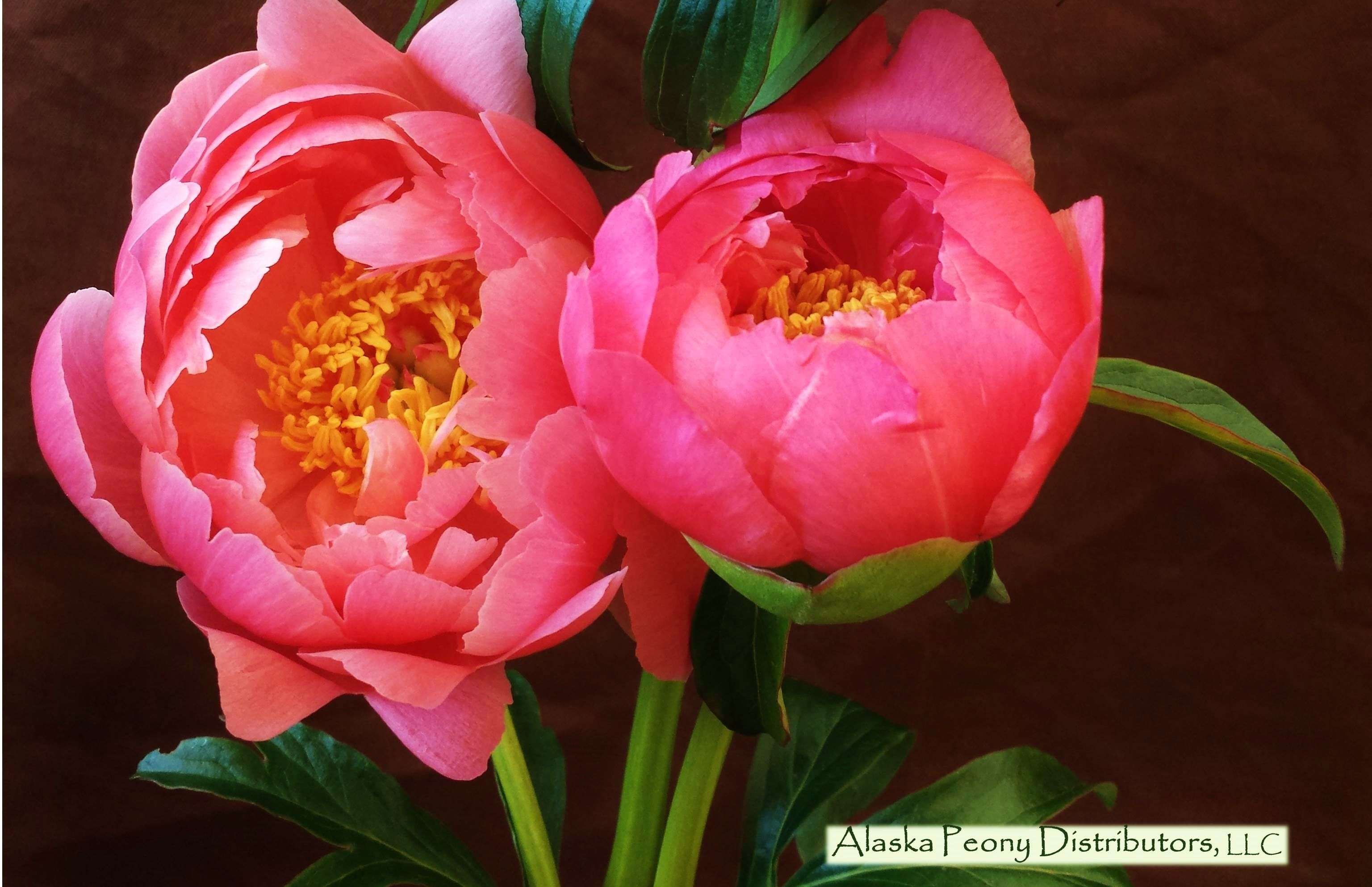 I Just Can T Get Enough Of Those Coral Charm Peonies Here We Have A Pair Fresh Blooming And At The Height Of Their Color Coral Charm Peony Peonies Flowers