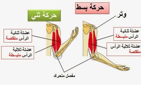 درس الجهاز العضلي النادي الصحي ثانوية بدر الإعدادية Blog Blog Posts