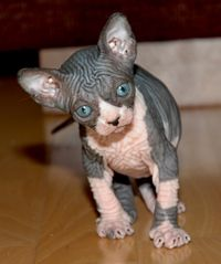 Pin By Sussan On Felines Cat Breeder Sphynx Cat Cats And Kittens