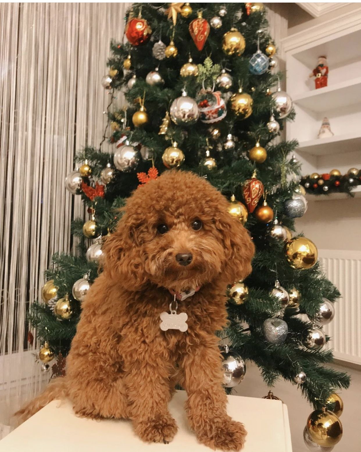 Red standard poodle puppies near me