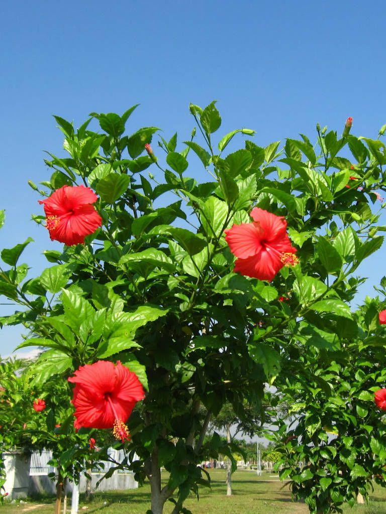 Hibiscus rosasinensis (Chinese Hibiscus) Hibiscus plant